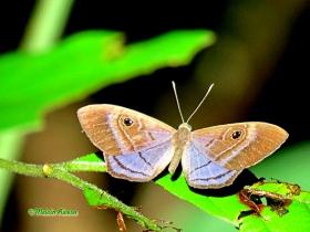 Purple-Washed Eyemark -Mesosemia lamachus