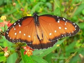 Queen Butterfly-Danaus gilippus