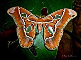 Rothschildia lebeau yucatana
