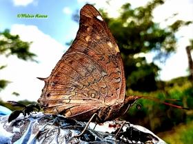 Tailed secropian-Historis acheronata