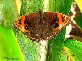 Tropical Buckeye-Junonia genoveva