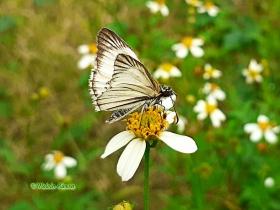 Veined White-Skippe-Heliopetes arsalte