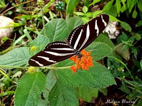 Zebra Heliconian-Heliconius charithonia