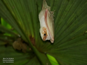Dicllidurus albus