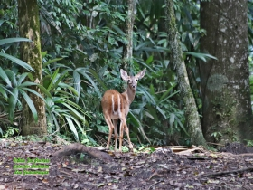 Odocoileus virginianus-estacion-biologica-las-guacamayas