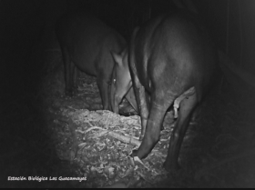 Tapirus-bairdii