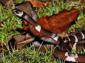 Tropidodipsas fasciatus