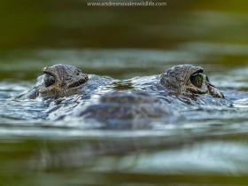 Crocodylus-moreletii-bobby
