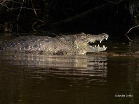 Crocodylus-moreletii