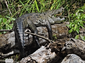 Crocodylus moreletii