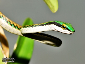 Leptophis mexicana
