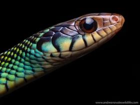 ojos-Drymobius-margaritiferus
